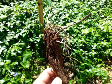 This is a cutting of the hop vine with roots and a few new sprouts coming off of it.