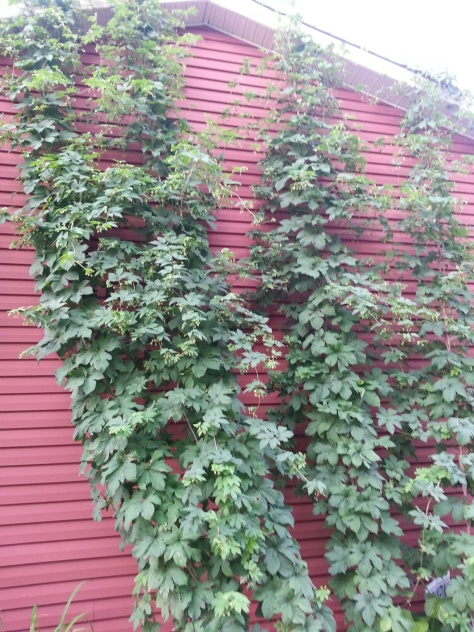 They even have hops growing!